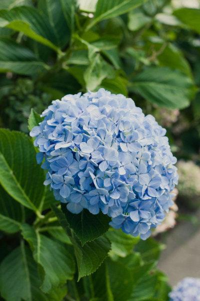 buquê azul (10)